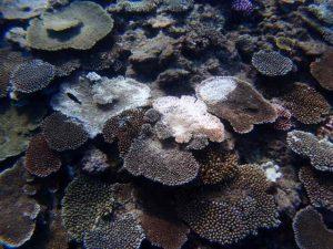 伊是名,サンゴ,白化