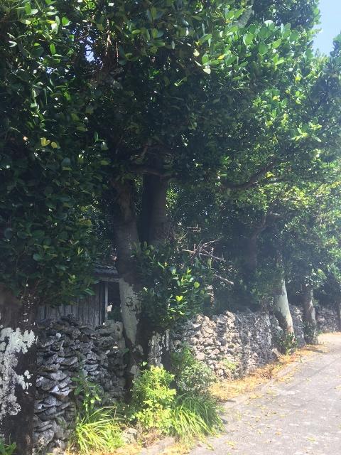 沖縄,伊是名,フクギ,防風林