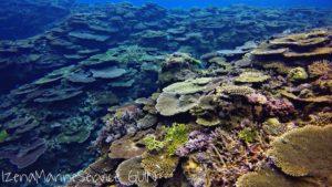 サンゴ,群生,伊是名,ダイビング