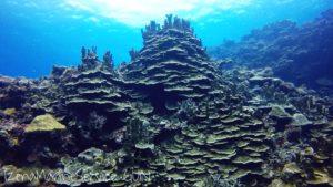 サンゴ,カリオストロの城,伊是名,沖縄,ダイビング