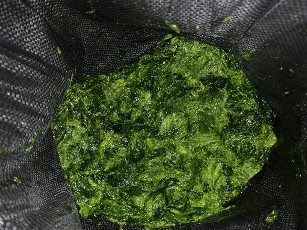 綺麗な緑色の収穫したアーサ