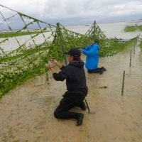 伊是名でアーサ収穫体験