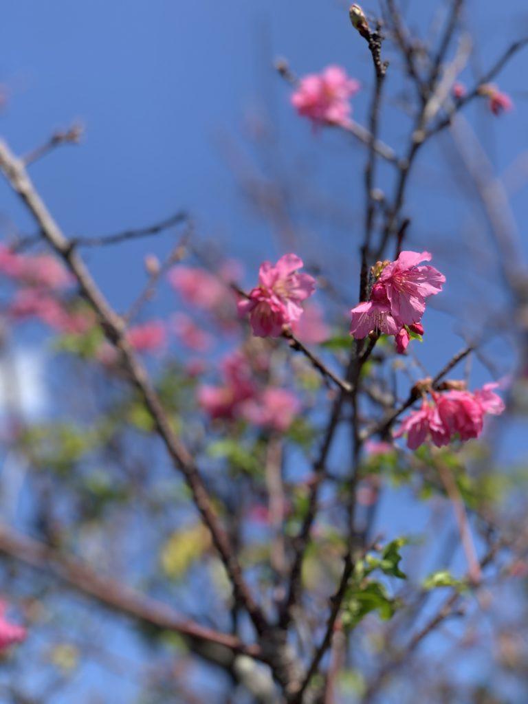 伊是名の桜